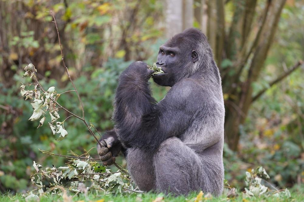 Gorille-ZooSafari-de-Thoiry